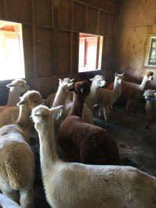 Alpacas in Barn