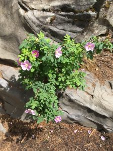 Pink Flowers in Rock