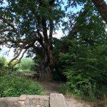 Oak Tree 400 Years Old